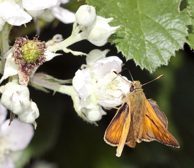Large skipper, Ochlodes venatus, feeding on bramble flower.  Male.  Hedge next to Well Wood, 11 June 2011.