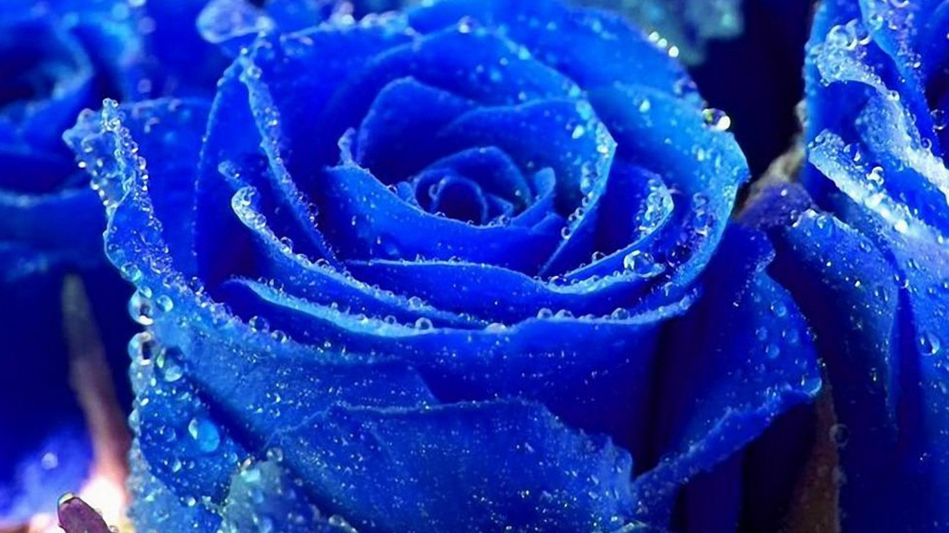 Welcome to hemanth 39 s blog cool nature wallpapers for Cool things to do with roses