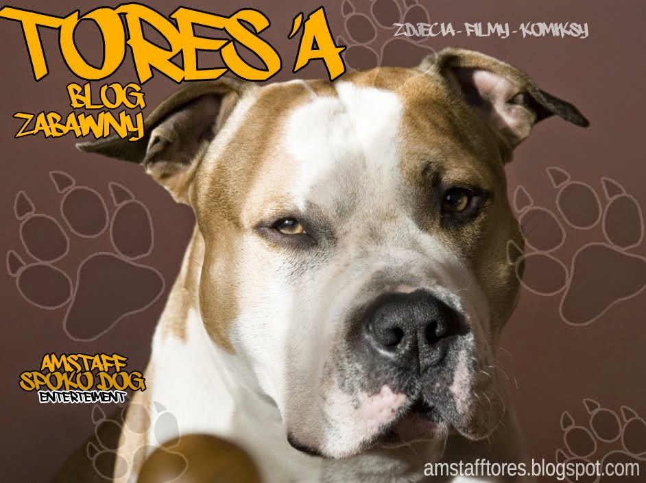 Tores - American Staffordshire Terrier