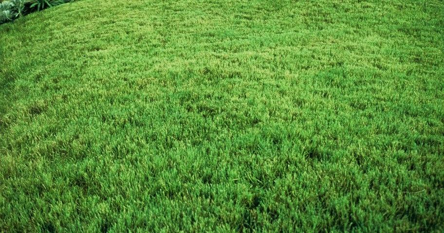 Zoysia grass in winter
