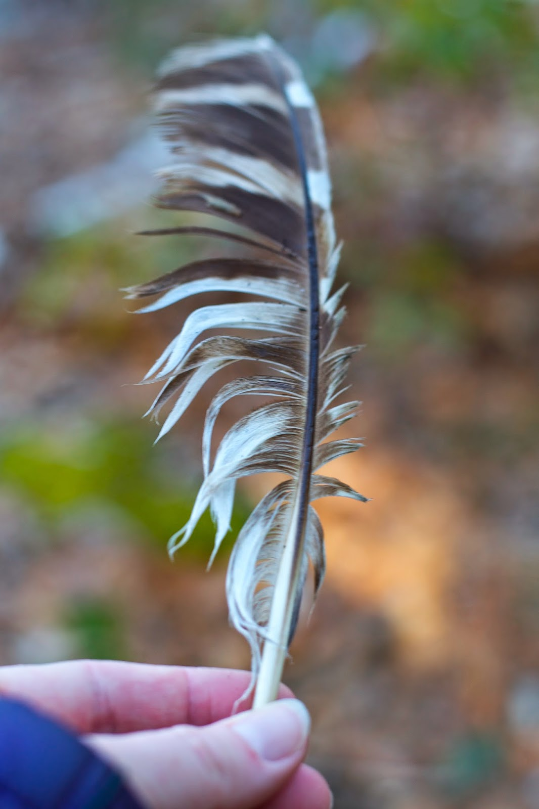 Turkey feather found on the trail.