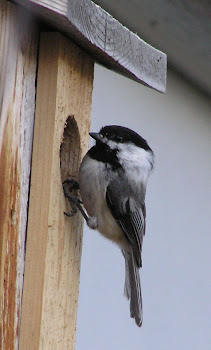 In season, click on the picture to view inisde the nest box!