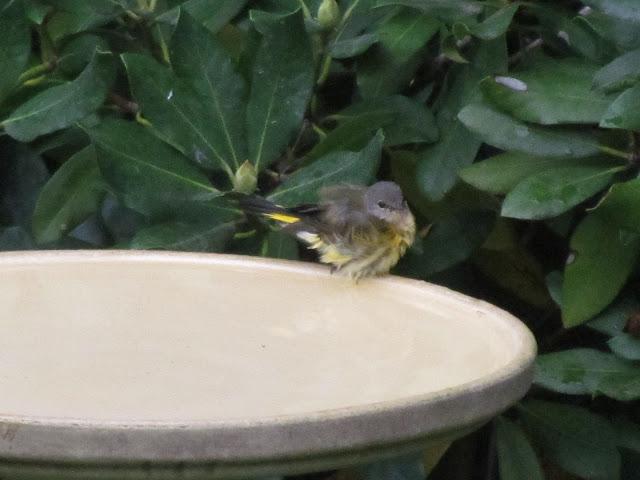 american redstart in bird bath