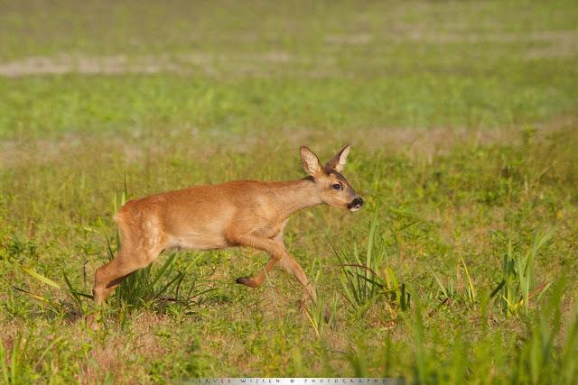 Reekalf - Juvenile Roe Deer - Capreolus capreolus