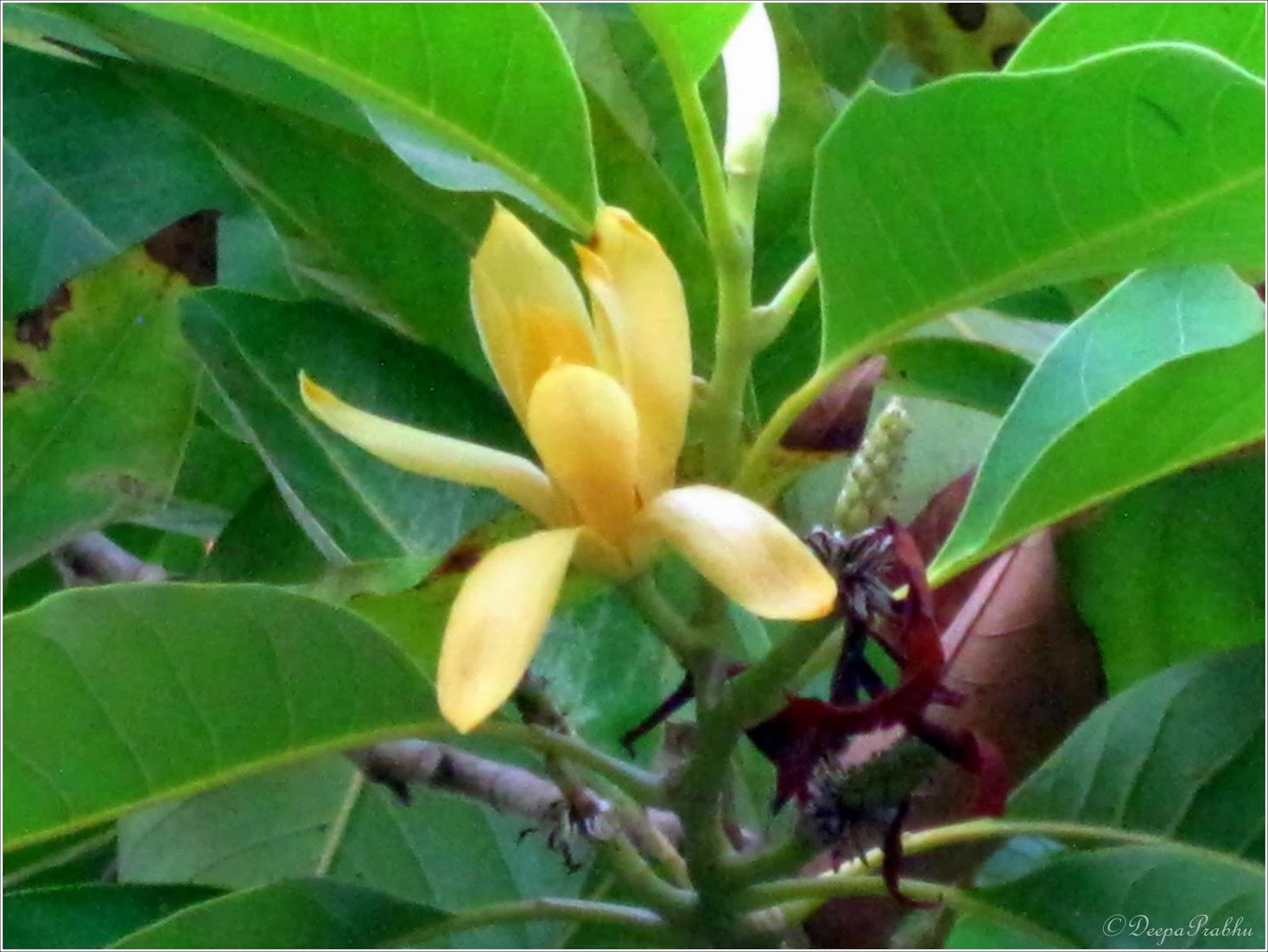 Golden Champa Magnolia Champaca Random Photography