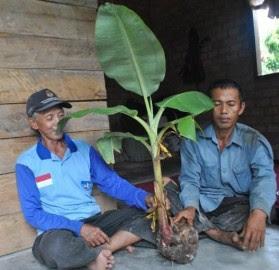 Inilah buah kelapa yang ditumbuhi pokok pisang yang ditemui di Kampung Peracak, Ogan Komering Ulu (OKU) Timur di Sumatera Selatan.