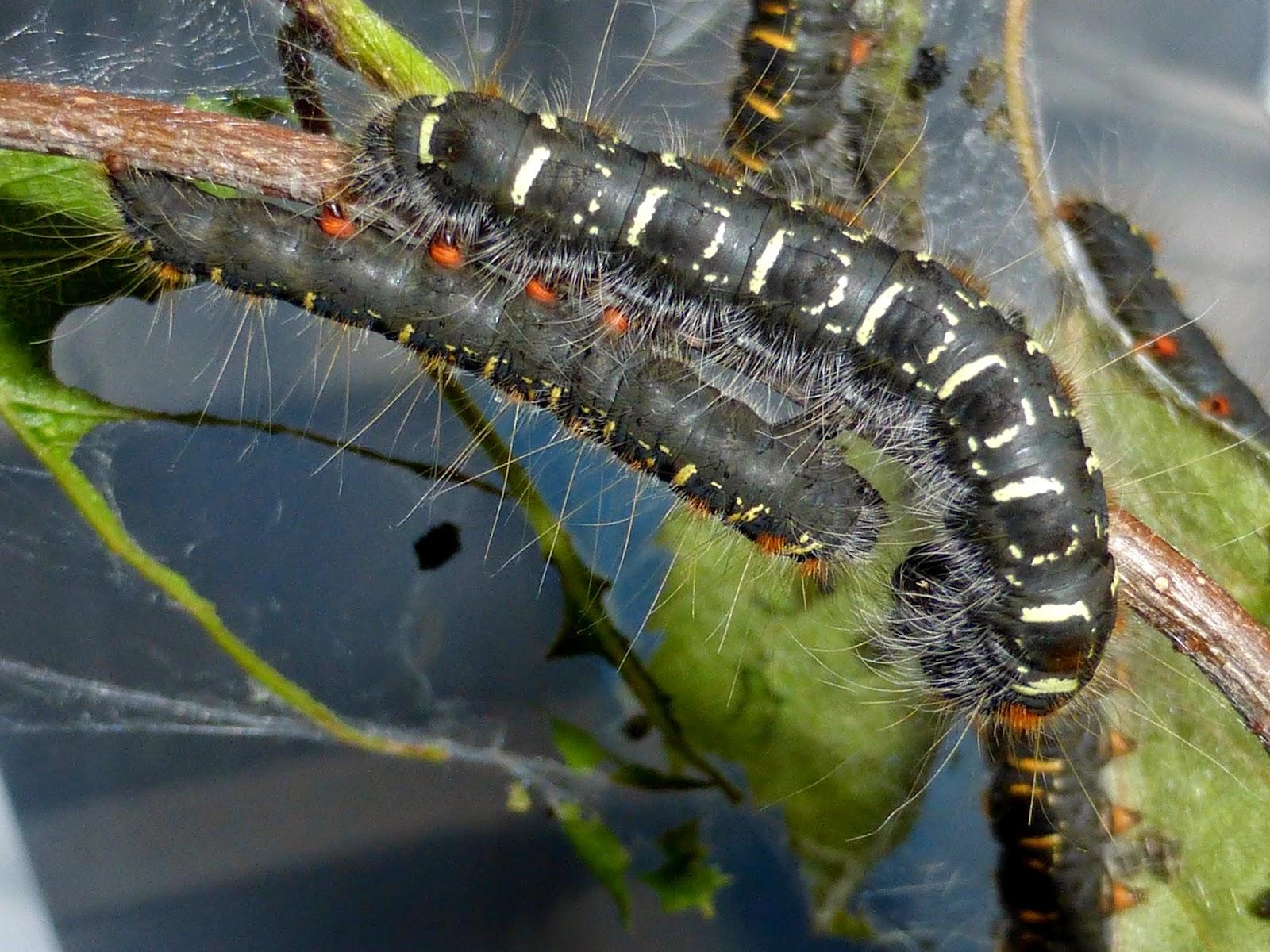 Eriogaster lanestris L4 caterpillars