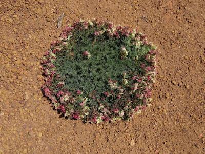 Wreath Leschenaultia (Leschenaultia macrantha)