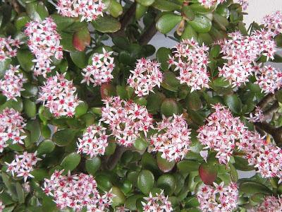 2013年4月上旬・・・カネノナルキの花