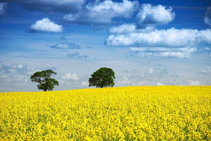 Energi alternatif biofuel, minyak biji rapa