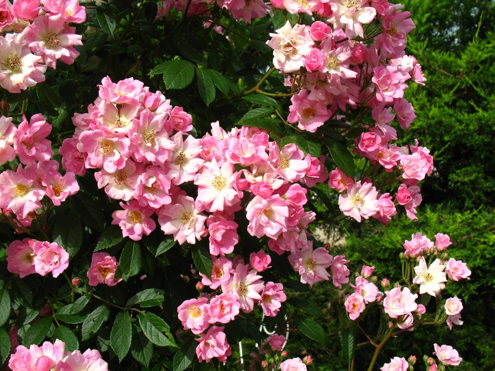 Roses du jardin ch neland rosier marietta silva tarouca - Quand bouturer les rosiers ...