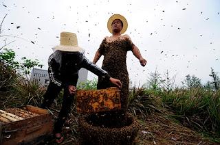 【閲覧注意】生きた女王蜂を連れて帰ったらとんでもない災難に! YouTube動画>1本 ->画像>31枚