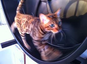 cat on a hamster wheel
