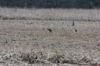 photo of sandhill crane in rushes