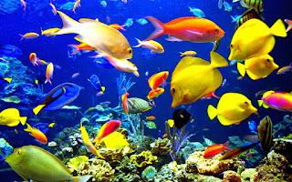 Ikan Hias Ekspor
