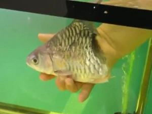 [VIDEO] I-Half, Ikan Separuh Badan Masih Mampu Hidup Sehingga 6 Bulan