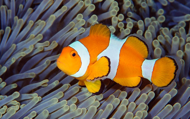 18290-Clown Fish Play With Anemon Animal HD Wallpaperz