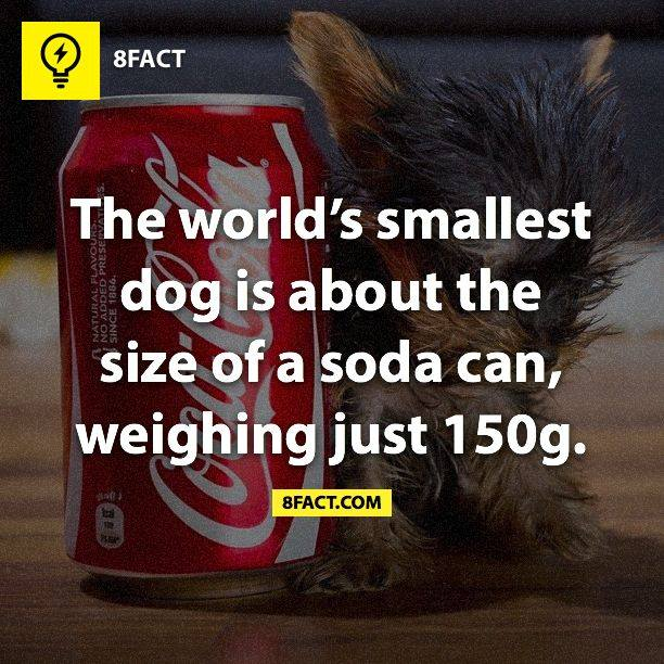 The world's smallest dog is about the size of a soda can , weighing just 150g.