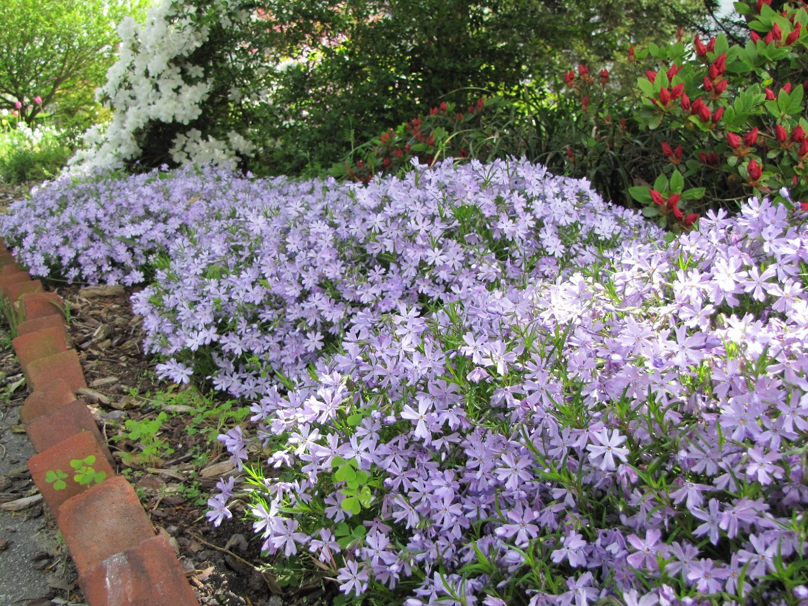 Views from the Garden: How to propagate creeping phlox from the root ball