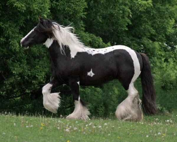 venta caballo tiro: