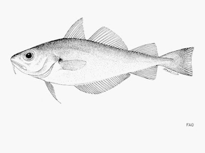 mollera Trisopterus minutus