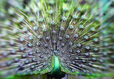 Peacock / Peafowl