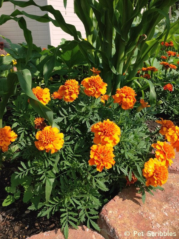 Summer garden blooms up close: Marigolds!  (www.PetScribbles.com)