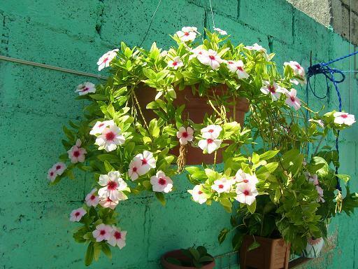 Plantas colgantes exterior naturales para plantas y flores ficus pumila usunnyu planta hiedra - Plantas colgantes ...