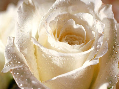 White rose flower wallpapers