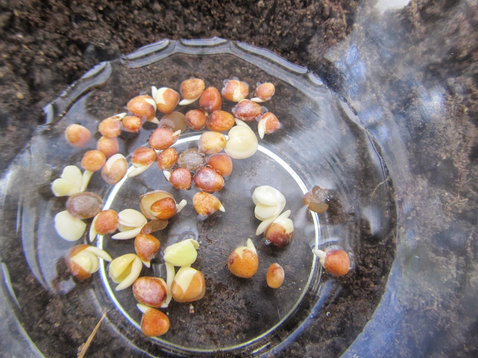 Sprouted Radish Seeds