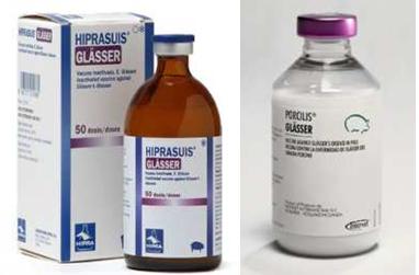 Một số loại vaccine phòng bệnh Glasser