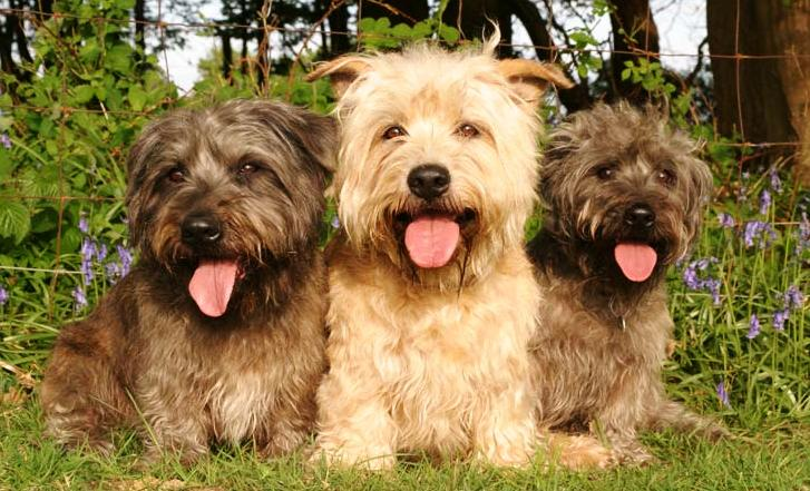 About dog glen of imaal terrier is your glen of imaal terrier potty is your glen of imaal terrier potty trained enough altavistaventures