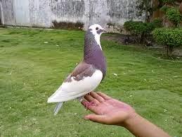 Gagal ternak burung