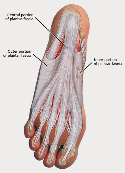 EL CORREDOR SOLO : ¿ Qué es la fascia plantar?. Anatomía y función.