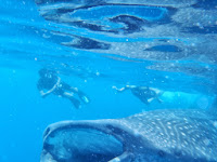 Whale sharks at Isla Holbox in Mexico
