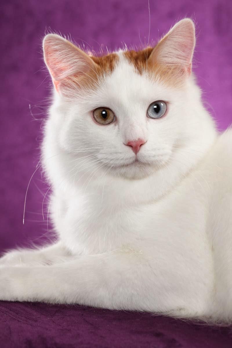 Jenis Jenis Ras Kucing Lucu Di Dunia Beserta Foto Foto