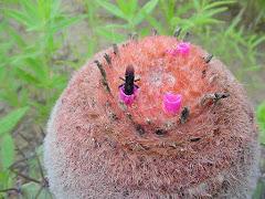 Abelha arapuá na flor da coroa-de-frade