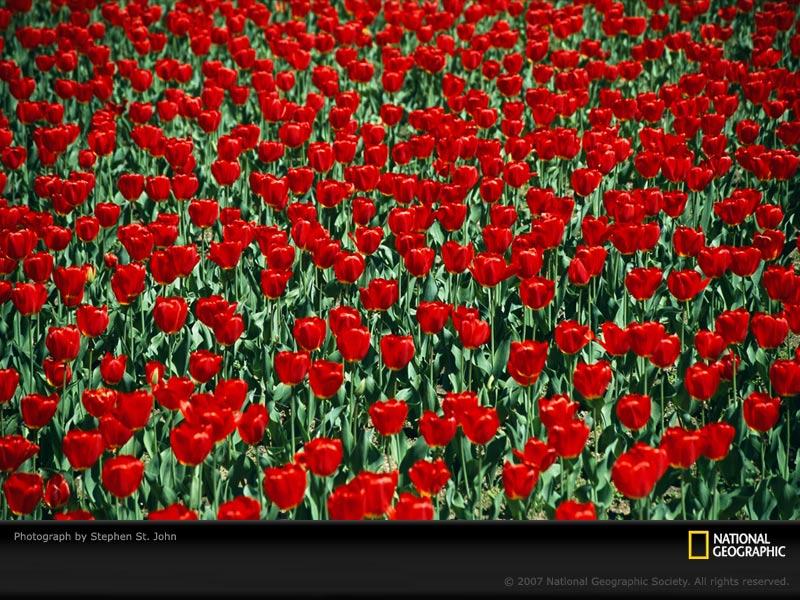 of tulips to brighten my