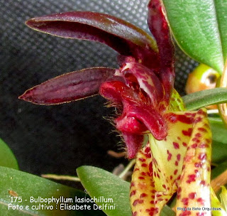 Bulbophyllum lasiochillum do blogdabeteorquideas