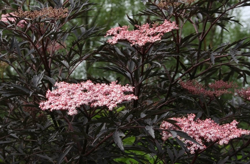 Baldwin Nurseries Perennials Shrubs Trees For Nova Scotia Purple Leaf Flowering Plum Shrub
