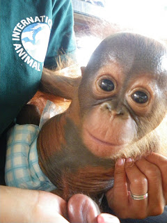 Orangutan Rescue Ketapang