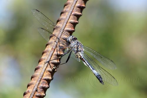 Zygonyx natalensis