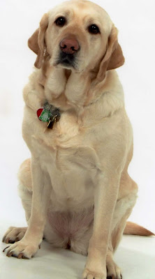 Yellow Lab retired Guide Dog Paka