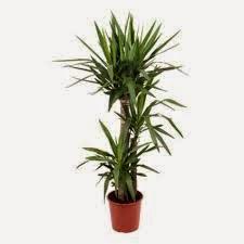 Small Yucca