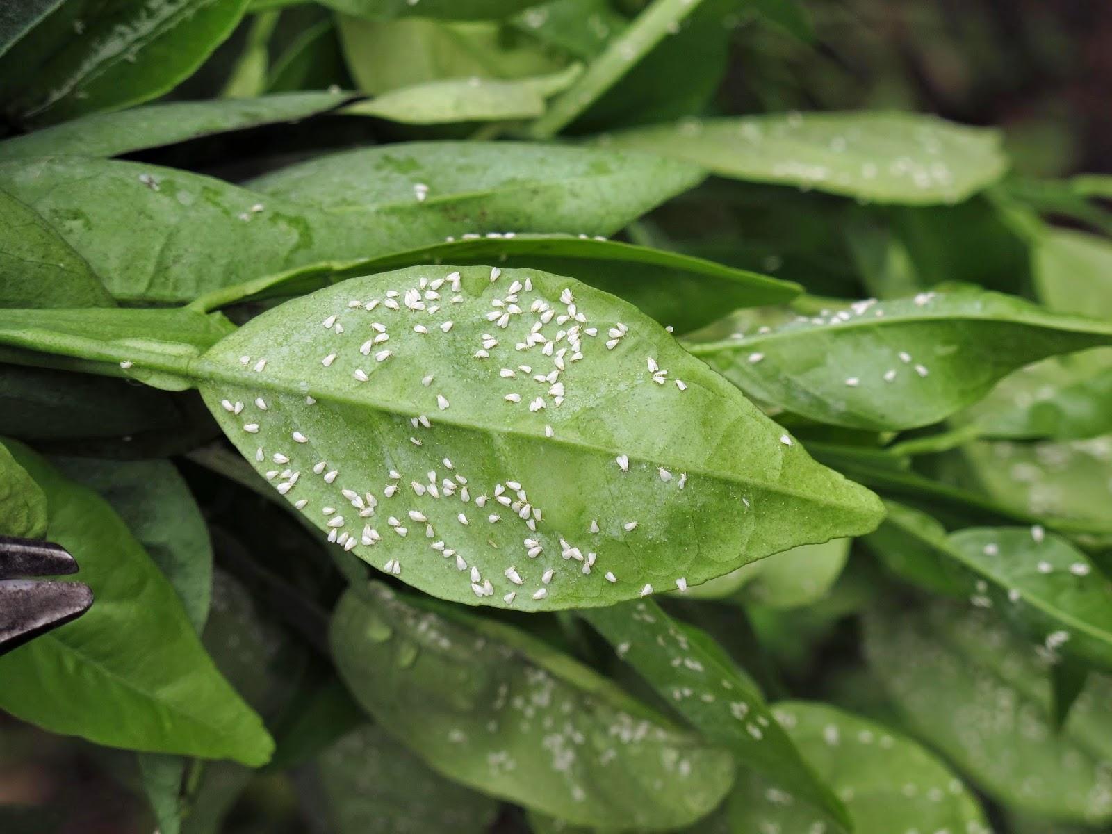 En el jardin c tricos cuidados y plagas de verano for Enfermedades citricos fotos