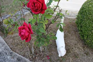 Mis rosales, viejitos y enfermos, aún hacen milagros