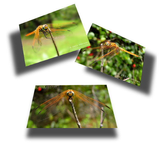 Crimson Marsh Glider (Female)