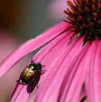 Japanese beetle, a dahlia pest
