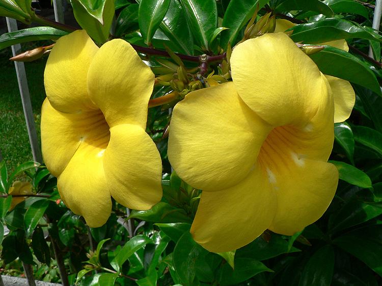 Uma planta que pode ter flores durante o ano todo, mas surgem
