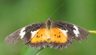 Malay Lacewing (Cethosia hypsea hypsea) f